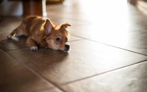 dog, home, floor