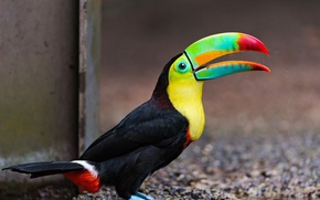 bird, beak, large, beautiful toucan