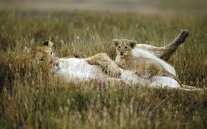 leonessa, giovane leone, gatti, famiglia