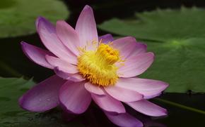 fiore, loto, giglio di acqua, giglio di acqua, stagno, rosa, grande, fogliame