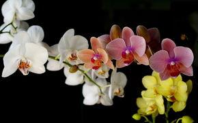 орхидеи, красивые, нежные, цветы, цветок, орхидея, букет, природа