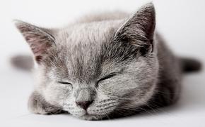 gato, gato, gatito, gris, duerme