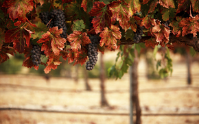 vineyard, clusters, leaves, landscape, nature