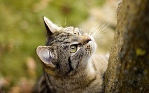gato, papel de parede, Koshak