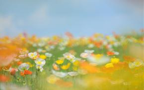 Coquelicots, Fleurs, Jaune, orange, Blanc, dcoule, herbe, champ, prairie, ciel, t, brouiller, tendresse