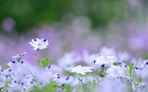 Fleurs, Blanc, violet, lilas, linge de couleur, prairie, t, Nature, brouiller, Macro