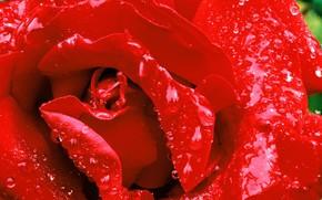 роза красная, после дождя