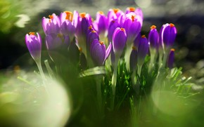 Azafranes, Flores, primavera, prpura, hierba, deja, verduras, tierra, primavera, mancha, Naturaleza