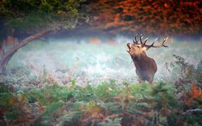 cervo, corno, suono, VOICE, Piangere, foresta, alberi, natura, Arbusti, nebbia, gelo
