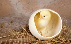 цыплёнок, птенец, скорлупа, перо, солома