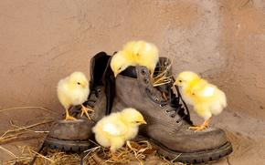 цыплята, птенцы, ботинки, солома, любопытство