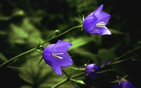 Bells, Plants, Flowers, nature, park, forest, leaves, Petals, ringing, macro