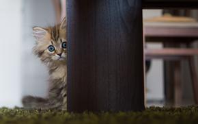gatto, tavolo