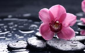 орхидея, розовая, цветок, камни, черные, гладкие, капли, макро