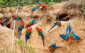 Parrots, macaw, Clay