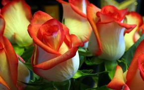 brotes, Rosa, belleza
