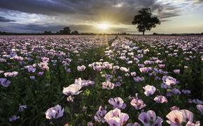sunset, field, Poppies, nature