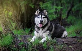 сибирский хаск, собака, взгляд