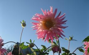 Цветок, розовый, георгин, ясное небо