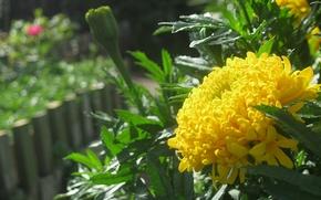 kwiat, dwukrotnie, barhatets. ty