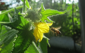 flower, yellow, cucumber, bee