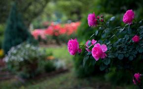 роза, розовый, куст, парк, яркость, размытость