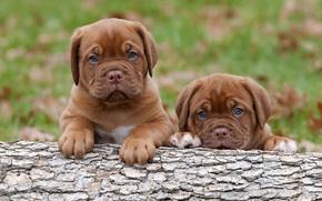 Бордосский дог, щенки, собаки, малыши
