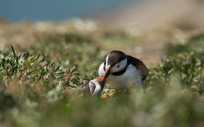 Birds, Atlantic deadlock, blurring, grass
