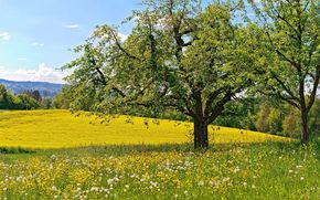 meadow, Flowers, dandelions, Trees, spring