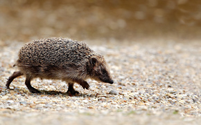 Crew cut, feet, gait, muzzle, nose, CWD, needles, surface, stones, pebble, hedgehog