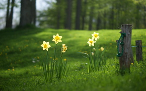 Daffodils, meadow, grass, forest, summer