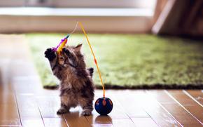 gato, gatito, juguete, juego, plumas, pelota, parquet, alfombra