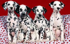Puppies, Dalmatians, Hearts, point