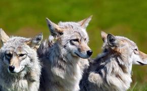Wolves, flock, field