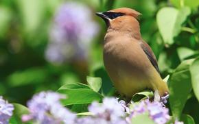 птица, свиристель, куст, серень, цветы, весна, природа