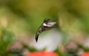 колибри, птица, полёт, размытость