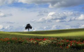 campo, albero, Papaveri