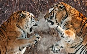 Tigers, animals, Two, Deruta, fight