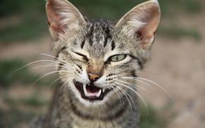 cat, muzzle, mordashka, cat, wink, canines