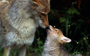 Loups, troupeau, fort