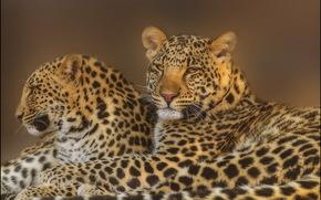 leopardo, grugno, vista, coppia, famiglia, Predators, Photoshop
