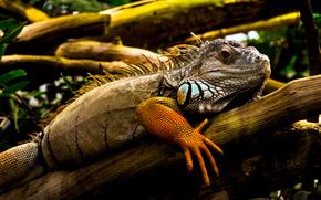 Iguana, lagarto, dragn