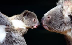 koala, view, Two, darkness