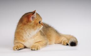 gatto, foto, orecchie, un po 'di