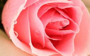 цветок, роза, лепестки, капли, бутон