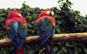 Parrots, macaw, Birds, feathers, brightness, leaves, day