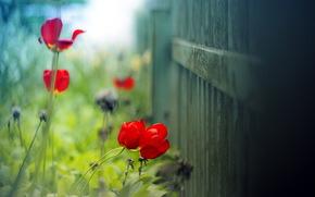 tulipano, estate, luce, sfondo, recinto, Macro