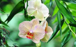 орхидея, зелень, листья, цветок