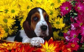 perro, Flores, basset