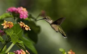 колибри, птица, макро, цветок, зелень, солнечно